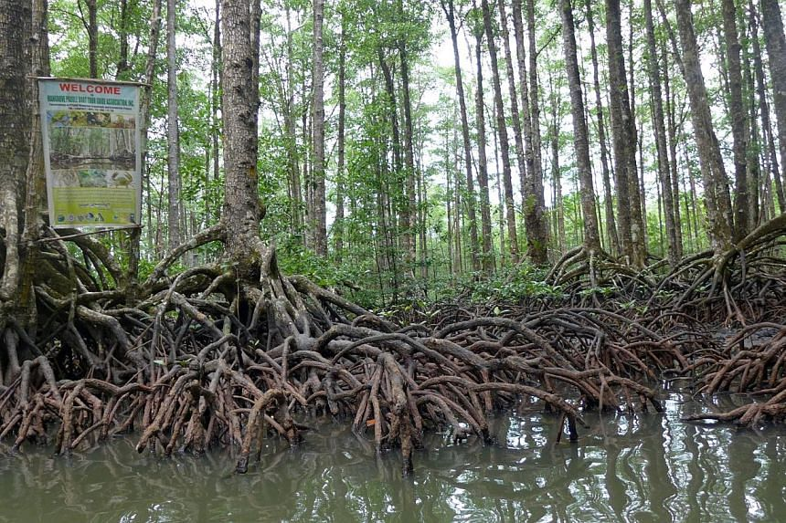 Better protecting the world's fast-disappearing mangroves could have big economic, social and environmental benefits, experts said at the UN climate talks in Lima this week. -- PHOTO: ST FILE