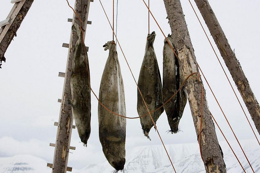 Dead seals hanging on a rack seen outside the arctic town of Longyearbyen, on Feb 25, 2008, in Norway.Norway's parliament has voted to scrap a controversial subsidy for seal hunting, potentially spelling the end of the much-criticised activity,