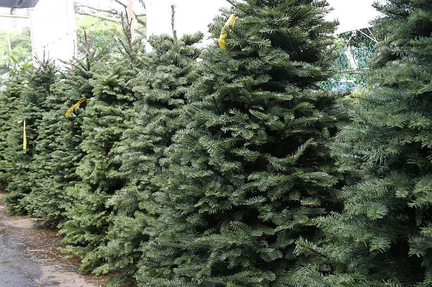 Live Christmas trees can be bought at places such as Far East Flora (above).