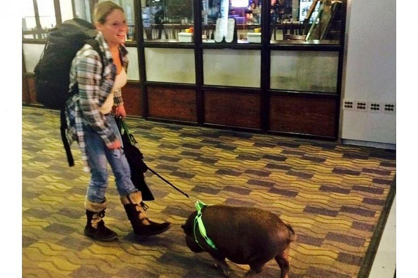 A woman and her pet pig were evicted from a US Airways flight in Connecticut because other passengers complained, according to a news report on Nov 28, 2014. -- PHOTO COURTESY OF ANGELICA SPANOS