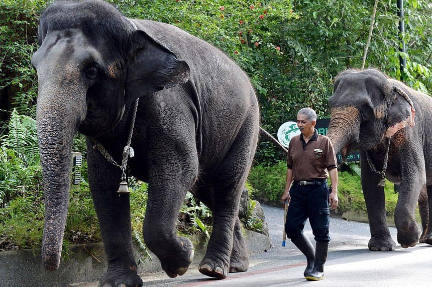A zookeper walking with elephants at the Singapore Zoo.Visitors to the Singapore Zoo will no longer be able to get as close to the elephants there or take rides on these animals, starting from Jan 5. -- PHOTO: BERITA HARIAN