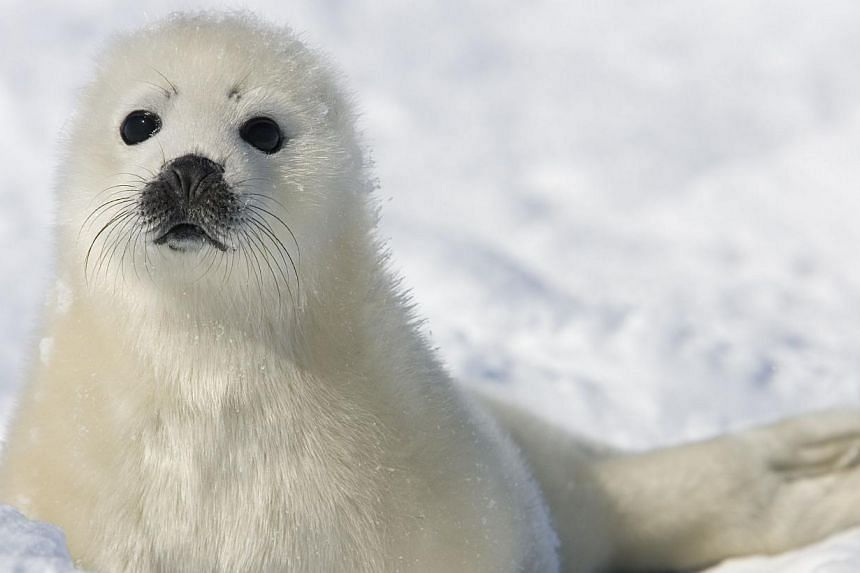 An outbreak of bird flu has likely killed about 3,000 seals off the coast of Sweden and Denmark this year, Swedish authorities announced Tuesday, raising the alarm a month after Germany. -- PHOTO: AFP