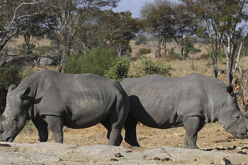 Rare white rhino dies at California zoo, leaving only five