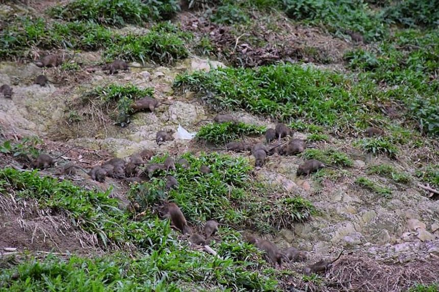 More than 30 rats have been seen scurrying around on a sandy patch next to the Bukit Batok MRT station. -- PHOTO: RYAN KEITH SMITH/FACEBOOK