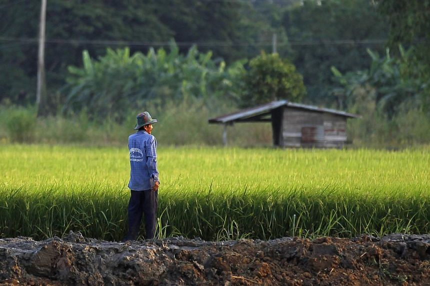 A farmer works in his rice field in Nakhonsawan province on Nov 14, 2014. -- PHOTO: REUTERS
