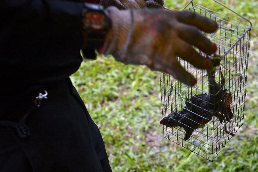 A rat caught in a rat trap by pest controllers from Star Pest Control deployed to get rid of rats at slope near Bukit Batok MRT station on Dec 18, 2014. -- ST PHOTO : MARK CHEONG