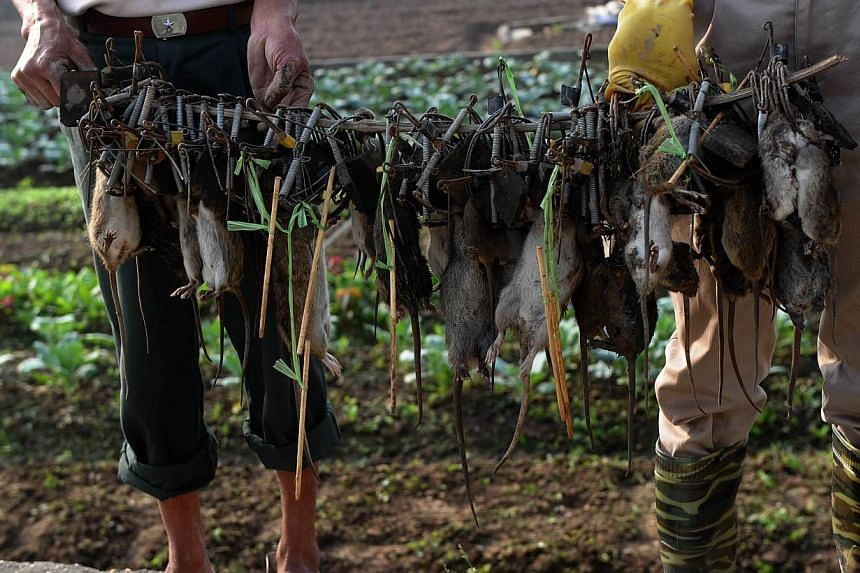 """Mr Tran Quang Thieu (right), nicknamed """"Rat King"""", and farmer Nguyen Huu Binh collecting trapped rats in a field on the outskirts of Hanoi on Nov 20, 2014. -- PHOTO: AFP"""