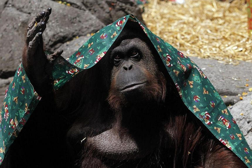 A female orangutan named Sandra, covered with a blanket, gestures inside its cage at Buenos Aires' Zoo, in this Dec 8, 2010 file photo. -- PHOTO: REUTERS
