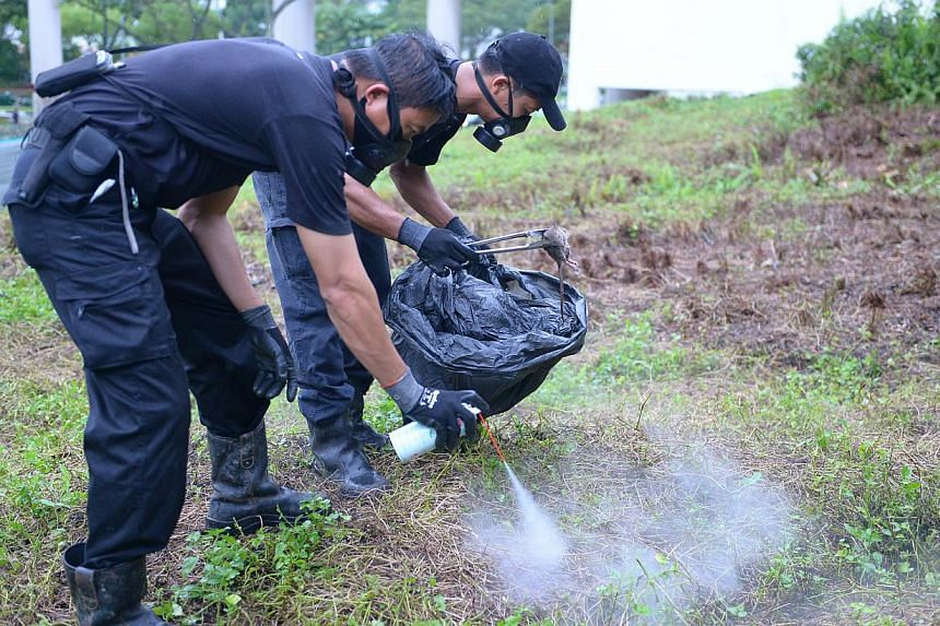 Pest controllers at work yesterday in Bukit Batok. Experts say three weeks are needed to end the rat infestation.