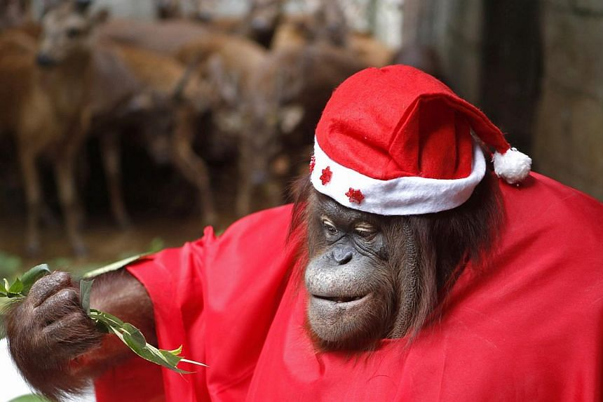 An orangutan dressed in a Santa Claus outfit takes part during the Animal Christmas party at Malabon Zoo in Manila. An Argentina court.An Argentina court ruled that an orangutan held in an Argentine zoo can be freed and transferred to a s