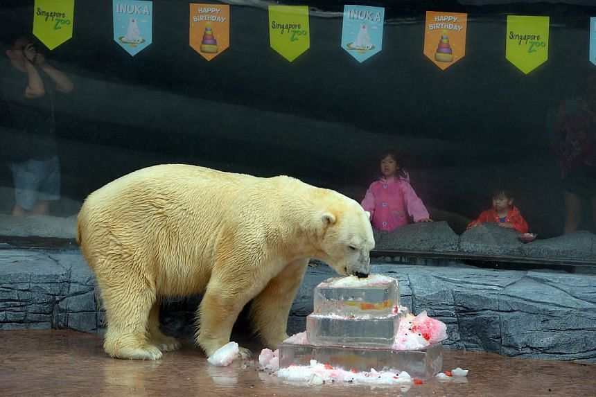 Inuka's keepers at the Singapore Zoo presented the male bear with a giant ice kachang cake. -- ST PHOTO:NG SOR LUAN
