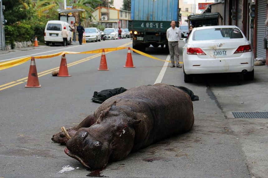 An injured hippo lies on the ground after it jumped from a truck in Miaoli county on Dec 26, 2014. -- PHOTO: AFP