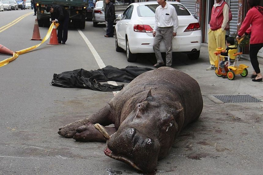 """Injured hippo """"A Ho"""" lies on the street after jumping off from a truck in Miaoli county, on Dec 26, 2014. -- PHOTO: REUTERS"""