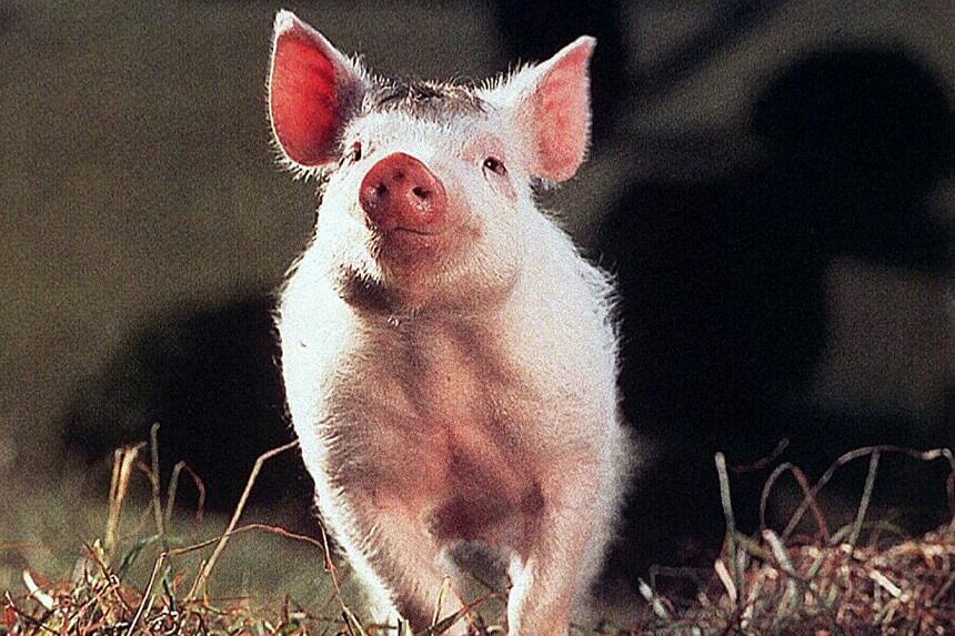 A cinema still from the 1995 movie Babe. Christine Cavanaugh, best known for providing the voice for the titular pig in Babe, has died. -- PHOTO: ST FILE