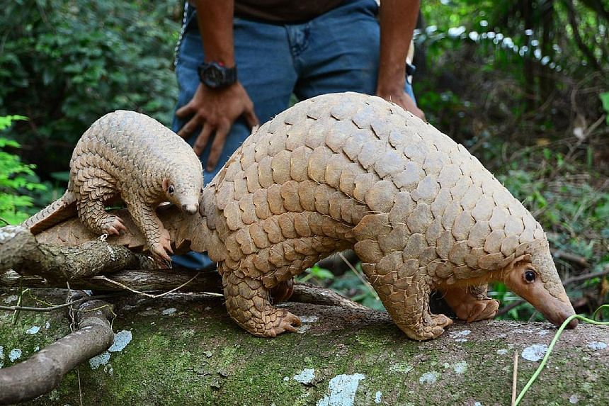 Sunda pangolins have been driven close to extinction. Radin, who was born on July 13, follows his mother Nita around at the Night Safari. A baby giant anteater at the River Safari, born in May, had to be hand-reared by the keepers after being rejecte