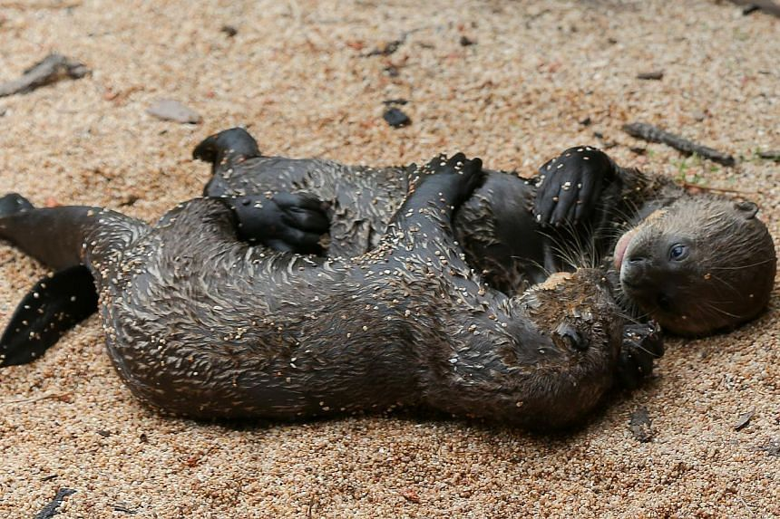 A pair of giant river otters, born on July 8, 2014. -- ST PHOTO: ONG WEE JIN