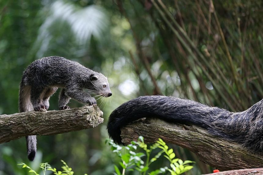 Night Safari's baby binturong explores its exhibit with its mother nearby. -- ST PHOTO: ONG WEE JIN