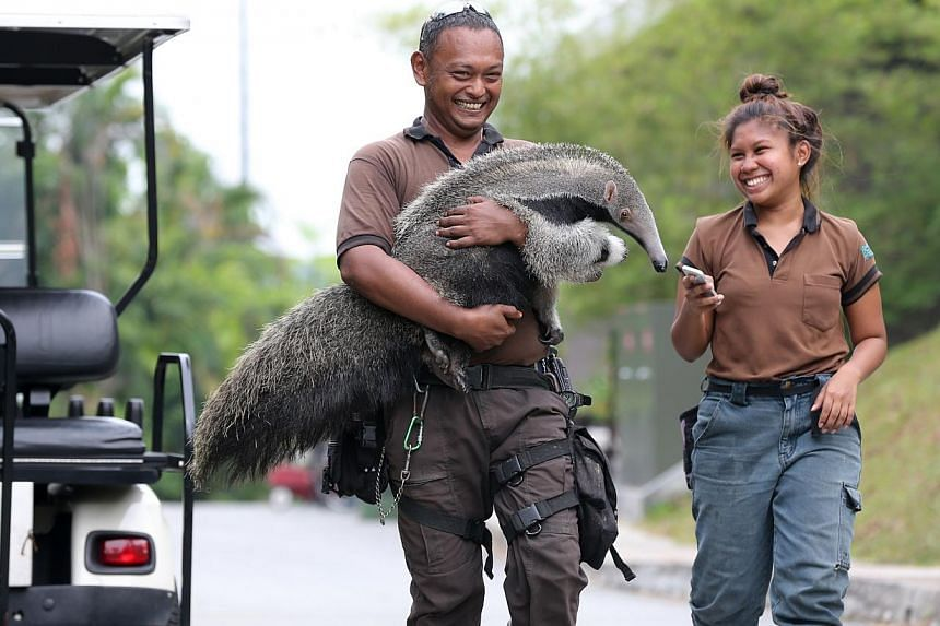 River Safari's giant anteater baby is hand-raised by the park's keepers after being rejected by its mother. -- ST PHOTO: ONG WEE JIN