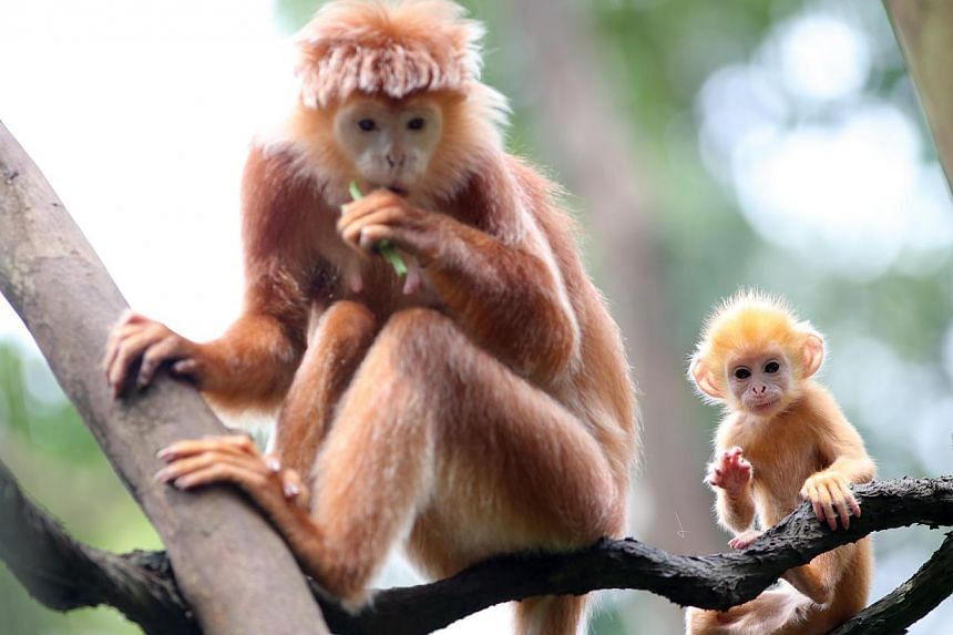 A Javan Langur baby, born on July 19, 2014.  -- ST PHOTO: ONG WEE JIN