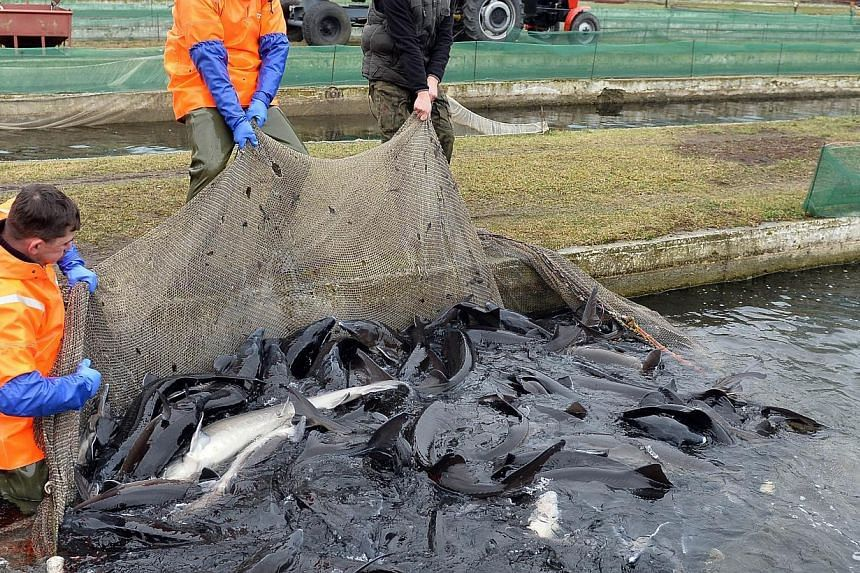 Workers at a fish farm in Rus pulling out a net full of mature female sturgeon on Dec 16, 2014. The farm has begun producing caviar, making it the first in Poland. -- PHOTO: AFP