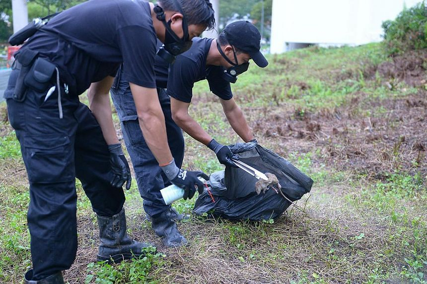 Pest controllers removing a rat carcass near Bukit Batok MRT station last month. Pest busters attacked rat nests and burrows, then monitored the area to ensure survivors did not get away.