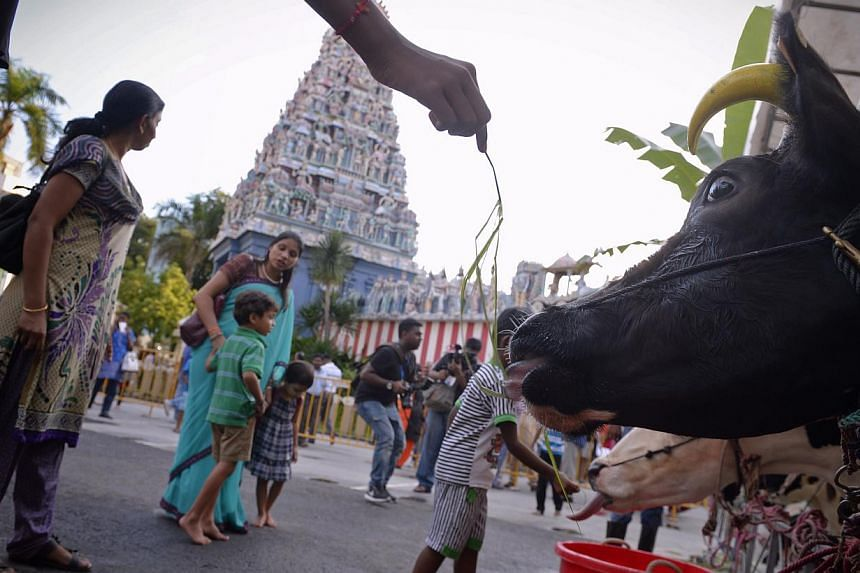 Visitors feed cows, bulls, calves and goats at a make-shift holding area outside Sri Srinivasa Perumal Temple during the annual Pongal Festival Celebrations (Harvest Festival) at Little India on Jan 10, 2015. -- ST PHOTO: MARK CHEONG