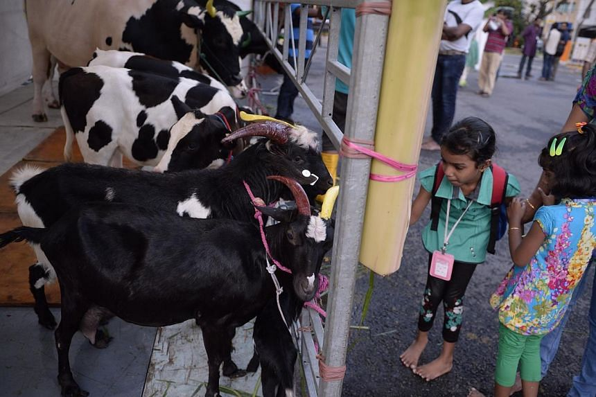 Moorthy Rakshita, nine, tries to feed a goat at a make-shift holding area which also housed cows, bulls and calves outside Sri Srinivasa Perumal Temple during the annual Pongal Festival Celebrations (Harvest Festival) at Little India on Jan 10, 2015.