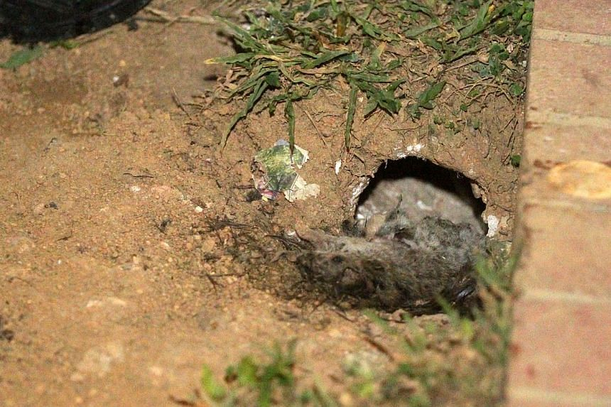 Two dead rats near one of the holes. -- PHOTO: SHIN MIN DAILY NEWS