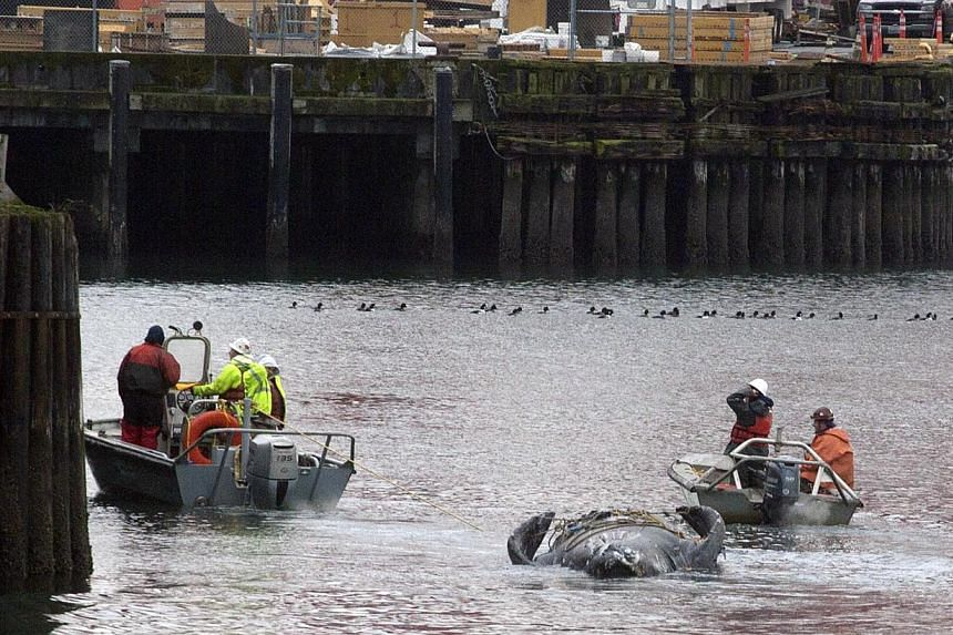 Crew members towing the carcass of the grey whale in Elliot Bay after it was discovered under the Colman Ferry dock in Seattle, Washington, on Jan 22, 2015. -- PHOTO: REUTERS