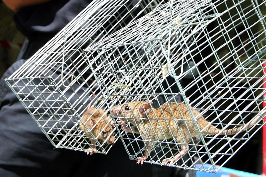 Pest busters are also warning that the apparent explosion in the rat population could lead to diseases spreading and even fires in older buildings if the rodents gnaw on power cables. -- PHOTO: NP FILE