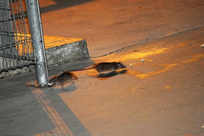 Rats have posed a problem recently in Singapore, with an infestation in Bukit Batok drawing a lot of attention, followed soon after by news that a dead rodent was found in a vegetable dish at a restaurant in Marina Square. -- ST FILE PHOTO