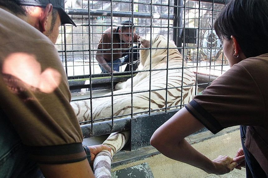 Singapore Zoo is keeping a close watch on 15-year-old white tiger Omar. -- PHOTO: WILDLIFE RESERVES SINGAPORE