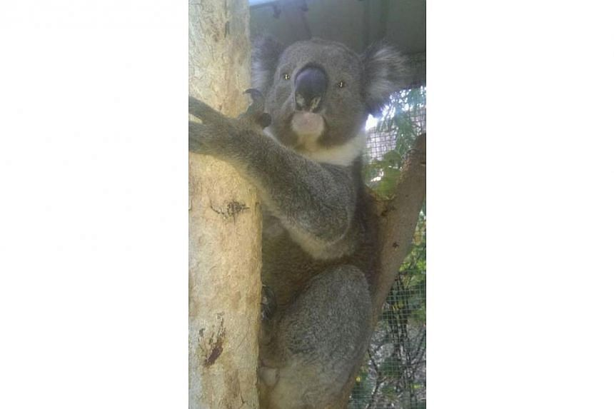 A picture of Jeremy after all his intensive care treatment has completed. Australian Marine Wildlife Research & Rescue Organisation Inc. (AMWRRO) has stated on their Facebook page that the koala has been released back to the wild where he was ini