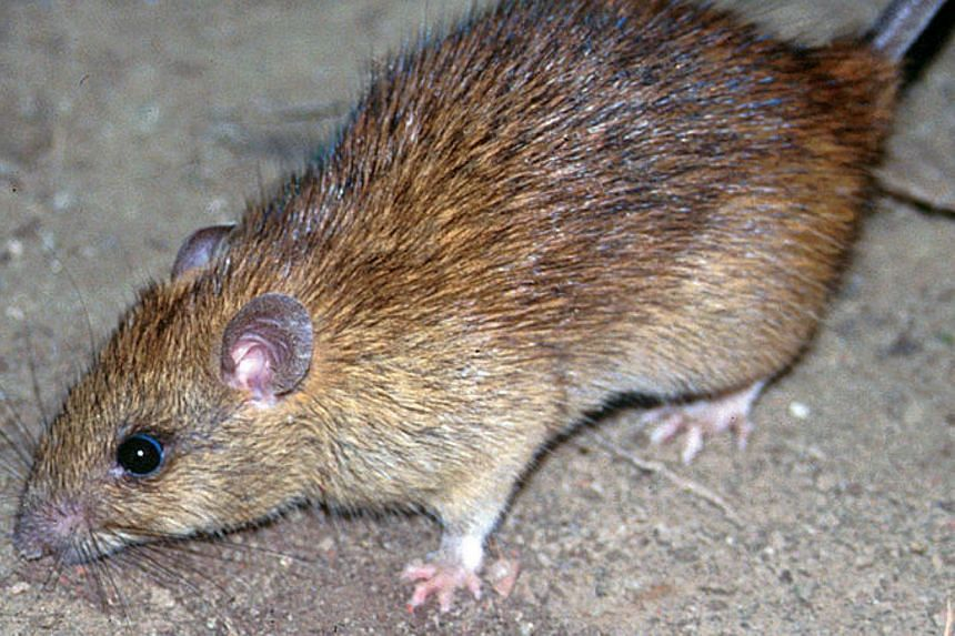 Black rat, a common rodent found in Singapore. To outsmart rats, pest controllers are arming themselves not just with glue boards and traps, but also a range of equipment such as motion sensors and infrared technology. -- PHOTO: WIKIMEDIA COMMONS