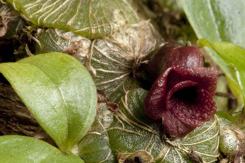 The as yet unnamed orchid species in a photo released by the Royal Botanic Gardens Kewon Feb 5, 2015. -- PHOTO: AFP