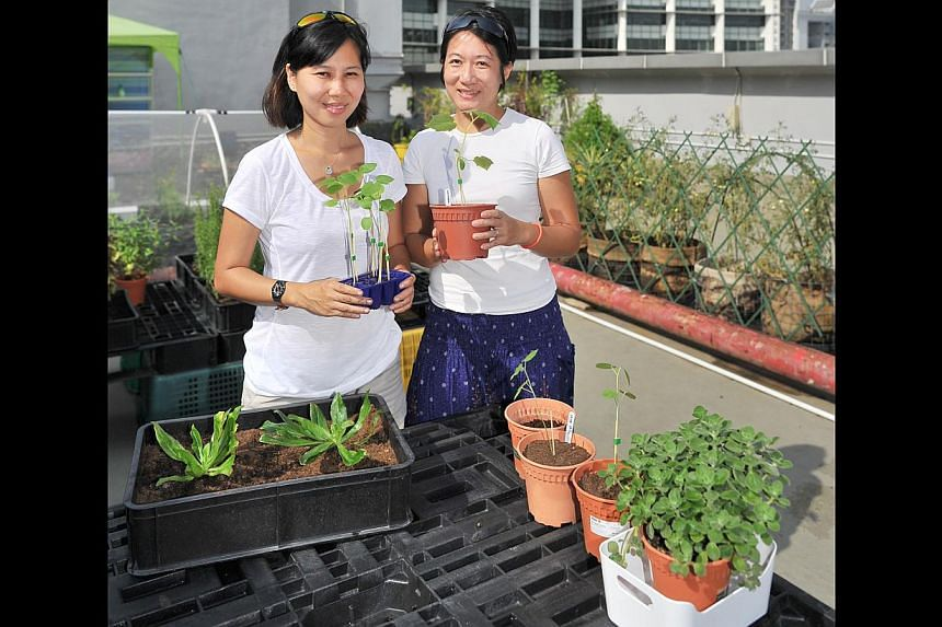 Ms Chuah Khai Lin (left) and Ms Evelyn Toh, both mothers of young children, run a farm on the rooftop of Bugis Cube. --PHOTO: LIM YAOHUI FOR THE SUNDAY TIMES