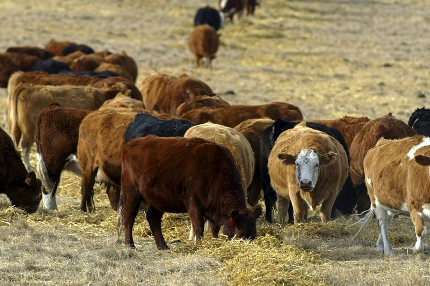 Cattle graze in a pasture in the foothills of the Rocky Mountains west of Calgary, Alberta in a Jan 23, 2006, file photo. Canada confirmed on Feb 13, 2015, that it had found a case of bovine spongiform encephalopathy (BSE), also known as mad cow dise