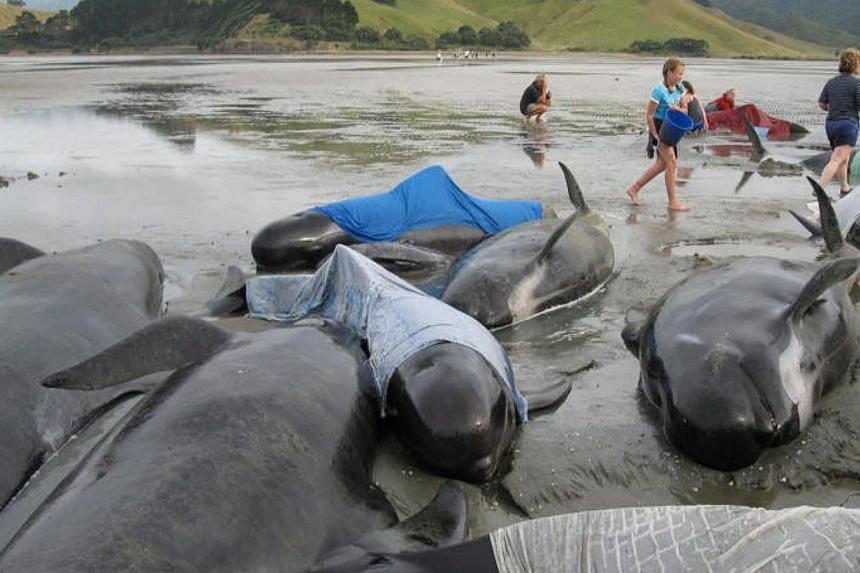 A Dec 27, 2009, photo shows volunteers refloating stranded whales at Colville Bay on North Island's Coromandel Peninsula in New Zealand. -- PHOTO: EPA