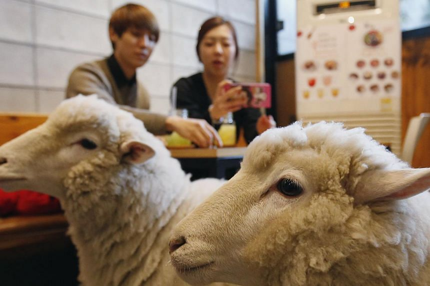 A woman takes photographs of sheep at a sheep cafe in Seoul on Feb 6, 2015. The coming Chinese lunar new year has stirred a debate over which zodiac creature - sheep or goat - is the correct one. -- PHOTO: REUTERS