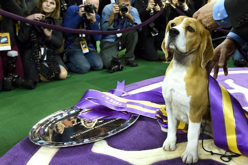 """Miss P, a 15-inch Beagle with handler William Alexander, looks on after winning the """"best in show"""" of the 139th Annual Westminster Kennel Club Dog Show at Madison Square Garden in New York on Feb 17, 2015. -- PHOTO: AFP"""