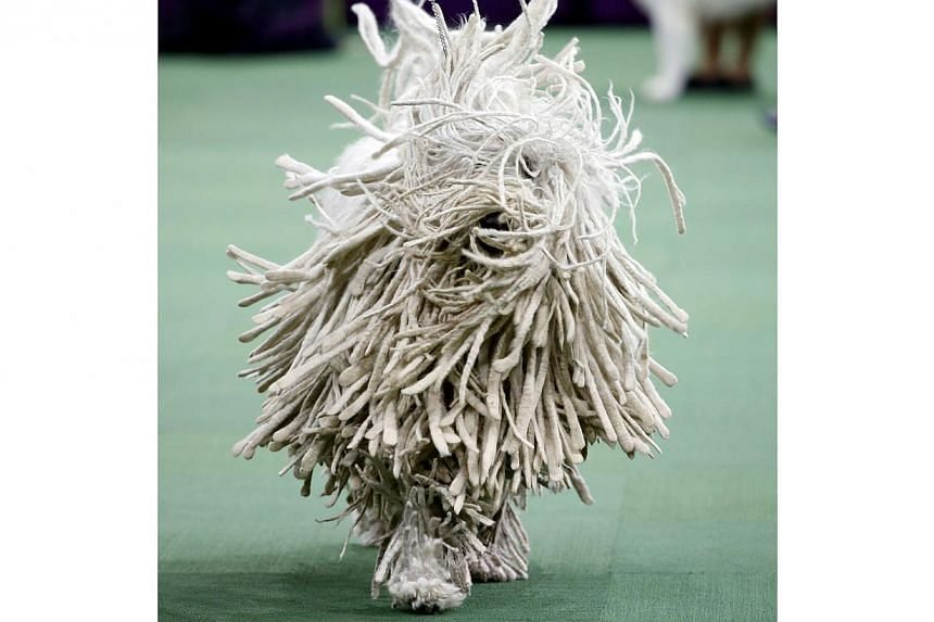 A Komondor runs during competition in the Working Group, at the139th Westminster Kennel Club Dog Show, at Madison Square Garden in the Manhattan borough of New York, on Feb 17, 2015. -- PHOTO: REUTERS