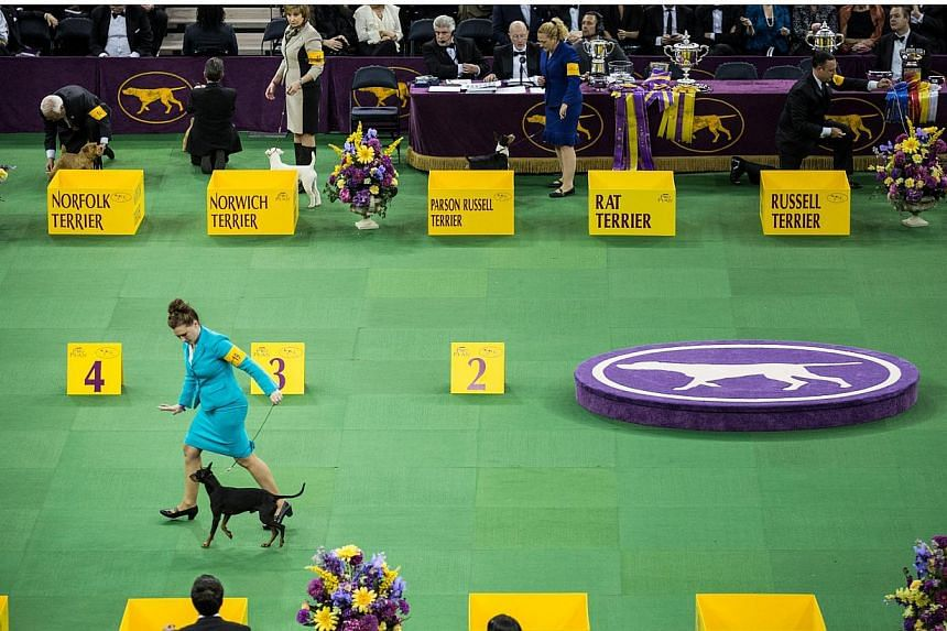 Dogs from the Terrier group are shown in the Westminster Kennel Club dog show on Feb 17, 2015, in New York City. -- PHOTO: AFP