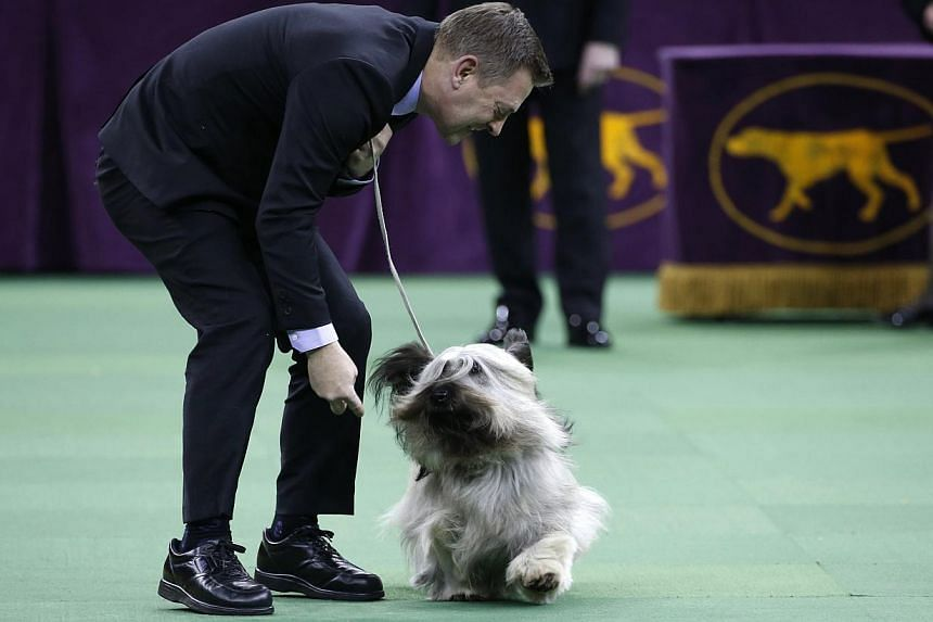 Charlie, a Skye Terrier and winner of the Terrier Grou, runs with handler Larry Cornelius during competition at the139th Westminster Kennel Club Dog Show at Madison Square Garden in the Manhattan borough of New York on Feb 17, 2015. -- PHOTO: REUTERS