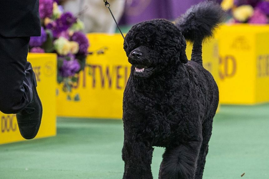 Matisse, a Portuguese Water Dog, walks during the Working Group round of the Westminster Kennel Club dog show on Feb 17, 2015, in New York City. -- PHOTO: AFP