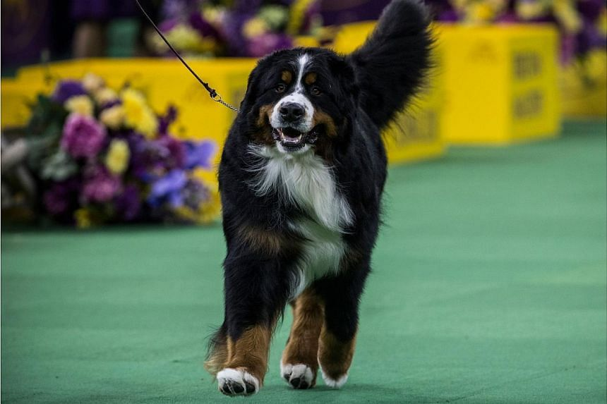 A Bernese Mountain Dog walks during the Working Group round of the Westminster Kennel Club dog show on Feb 17, 2015, in New York City. -- PHOTO: AFP