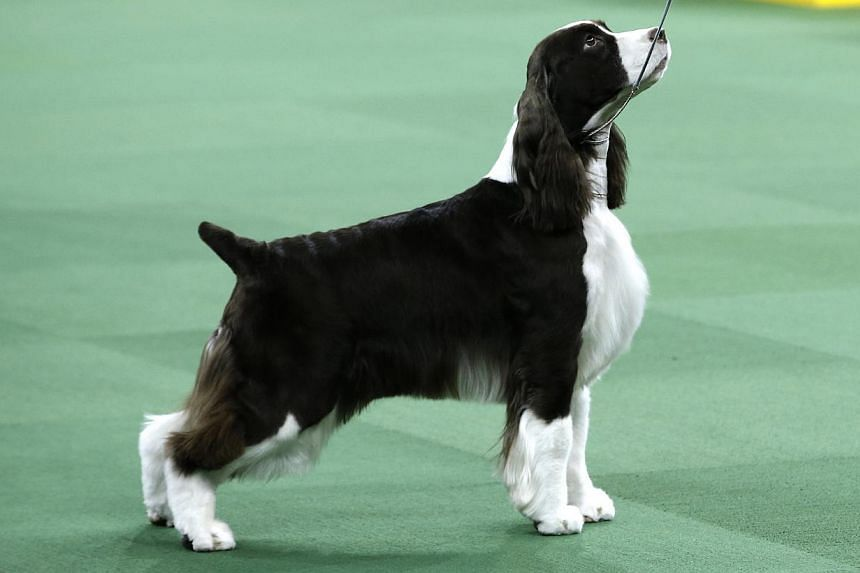 English Springer Spaniel Sweet Grass White Diamonds, also known as Liz, winner of the Sporting Group, is shown in the ring at the139th Westminster Kennel Club Dog Show at Madison Square Garden in the Manhattan borough of New York on Feb 17, 2015. --