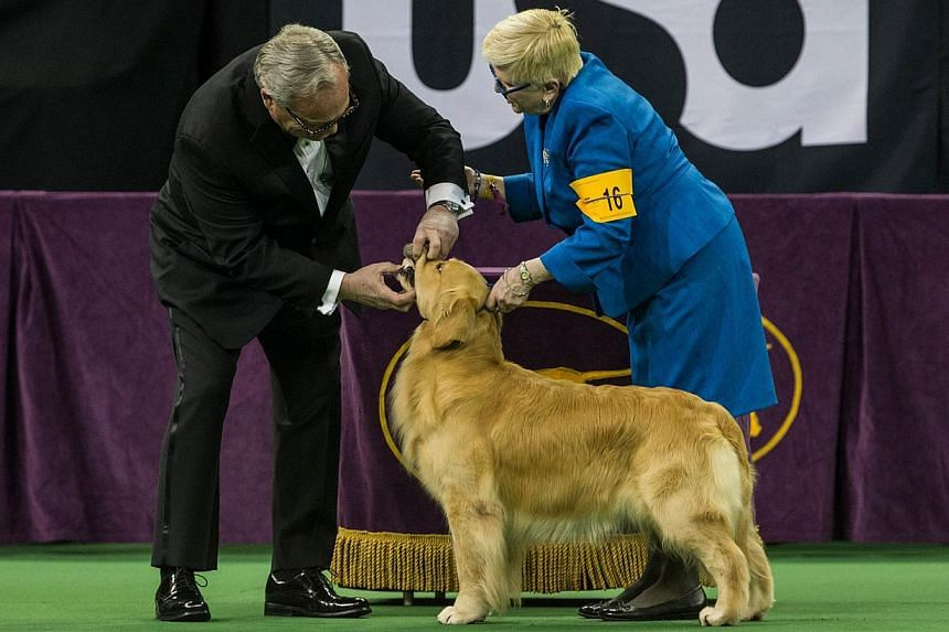 A Golden Retriever is evaluated during the Sporting Group round of the Westminster Kennel Club dog show on Feb 17, 2015, in New York City. -- PHOTO: AFP