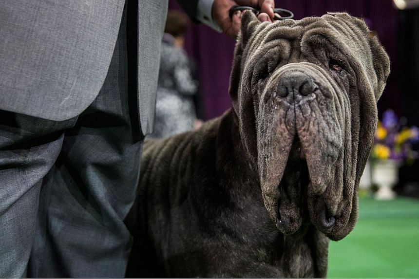 A Neapolitan Mastiff looks on before the Working Group round of the Westminster Kennel Club dog show on Feb 17, 2015, in New York City. -- PHOTO: AFP