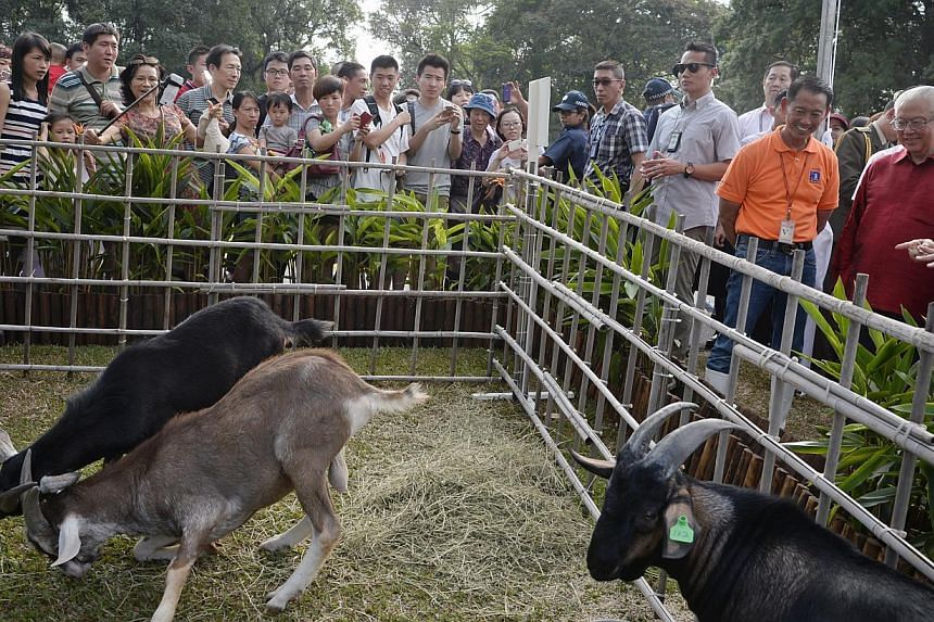 President Tony Tan (right), looks at goats from Hay Dairies put on display in an animal pen during the Chinese New Year open house at the Istana on Feb 20, 2015. -- ST PHOTO: MARK CHEONG