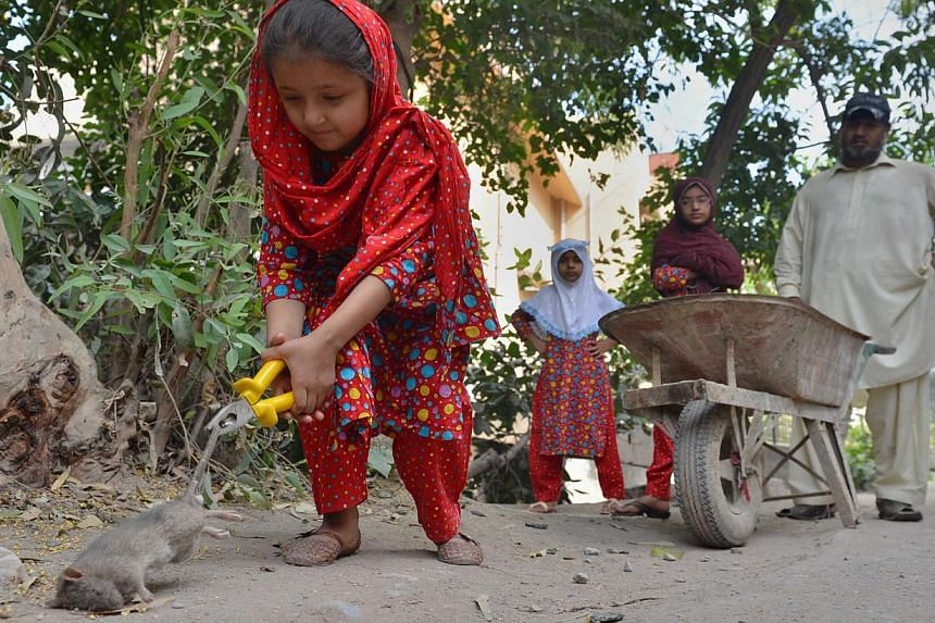 A file photo shows Pakistani resident Naseer Ahmad (right) watching his daughter (left) as she collects dead rats in a residential area of Peshawar. Armed with a hoe, wheelbarrow and plastic gloves and accompanied by his three young daughters, 40-som